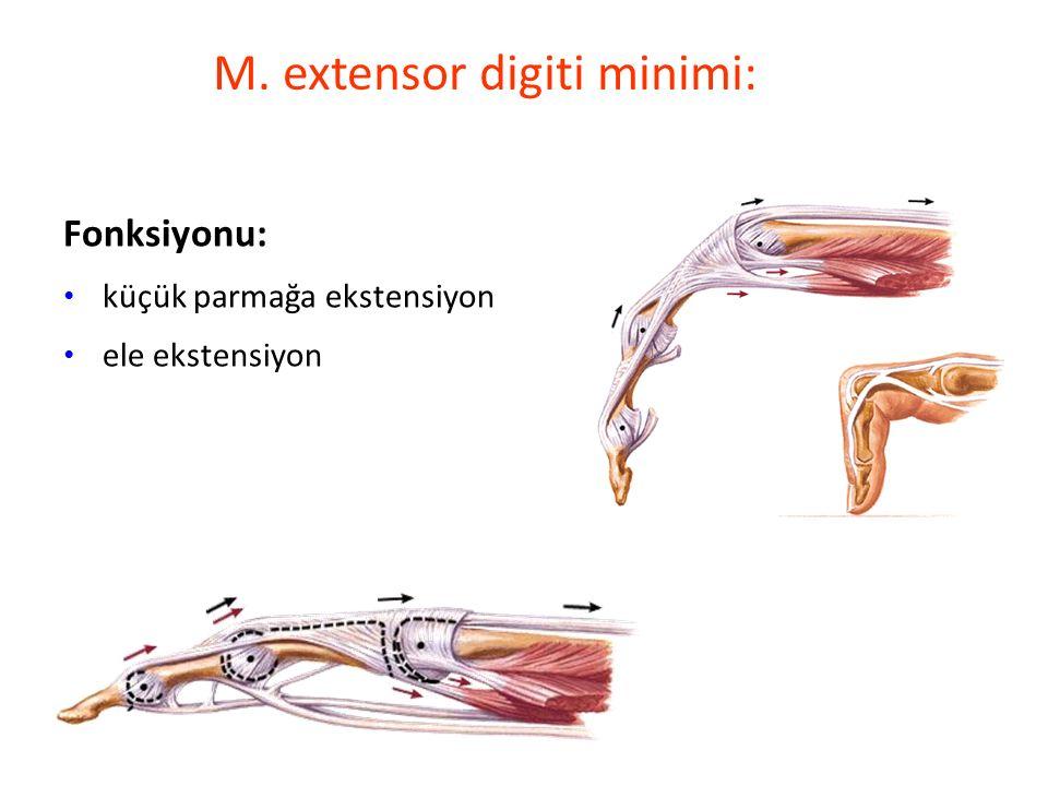 M. extensor digiti minimi: Fonksiyonu: küçük parmağa ekstensiyon ele ekstensiyon