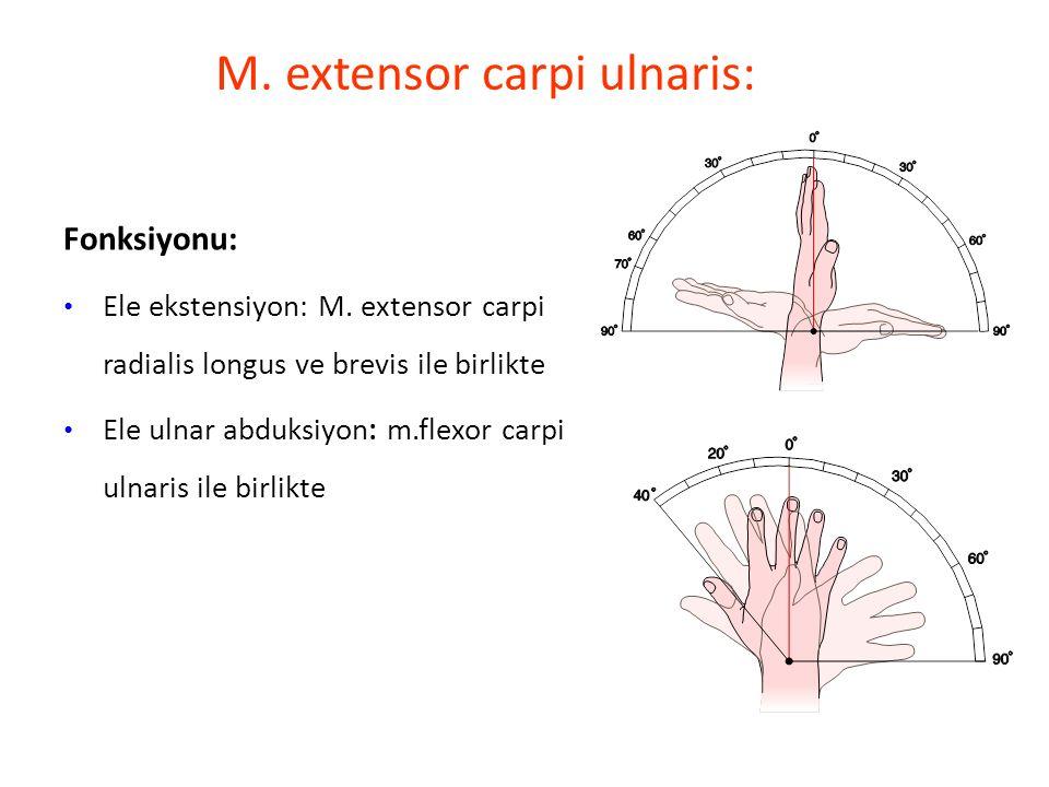 M.extensor carpi ulnaris: Fonksiyonu: Ele ekstensiyon: M.