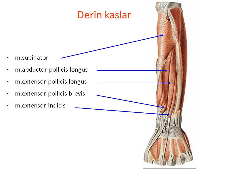 Derin kaslar m.supinator m.abductor pollicis longus m.extensor pollicis longus m.extensor pollicis brevis m.extensor indicis
