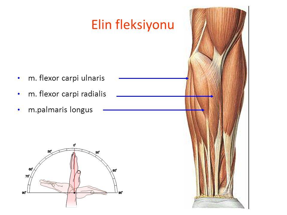 Elin fleksiyonu m. flexor carpi ulnaris m. flexor carpi radialis m.palmaris longus