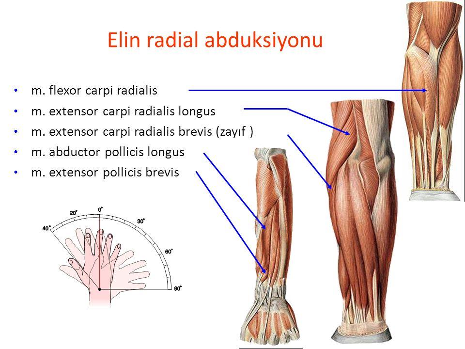 Elin radial abduksiyonu m.flexor carpi radialis m.