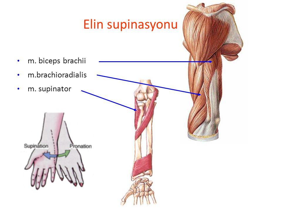 Elin supinasyonu m. biceps brachii m.brachioradialis m. supinator