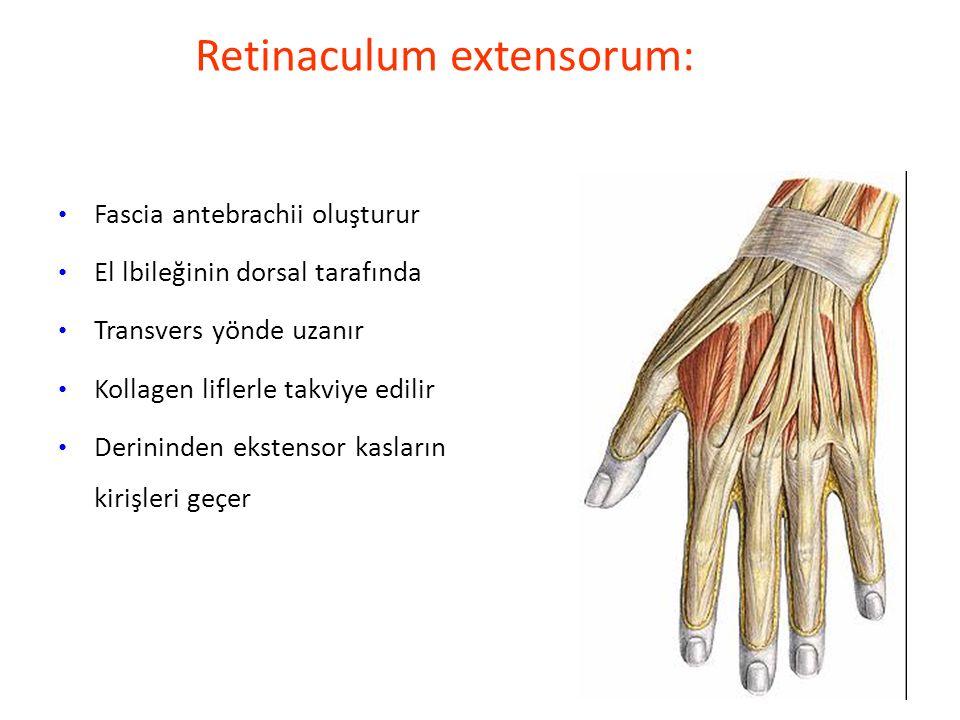Retinaculum extensorum: Fascia antebrachii oluşturur El lbileğinin dorsal tarafında Transvers yönde uzanır Kollagen liflerle takviye edilir Derininden ekstensor kasların kirişleri geçer
