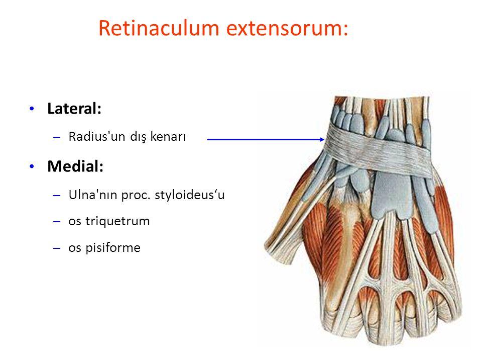 Retinaculum extensorum: Lateral: – Radius un dış kenarı Medial: – Ulna nın proc.