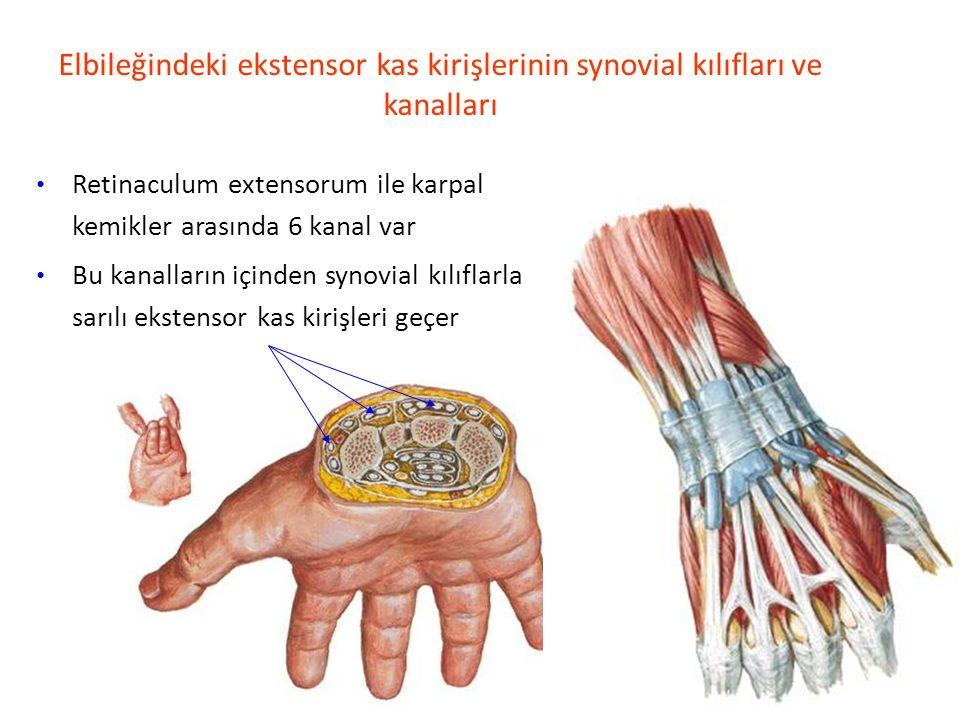 Elbileğindeki ekstensor kas kirişlerinin synovial kılıfları ve kanalları Retinaculum extensorum ile karpal kemikler arasında 6 kanal var Bu kanalların içinden synovial kılıflarla sarılı ekstensor kas kirişleri geçer