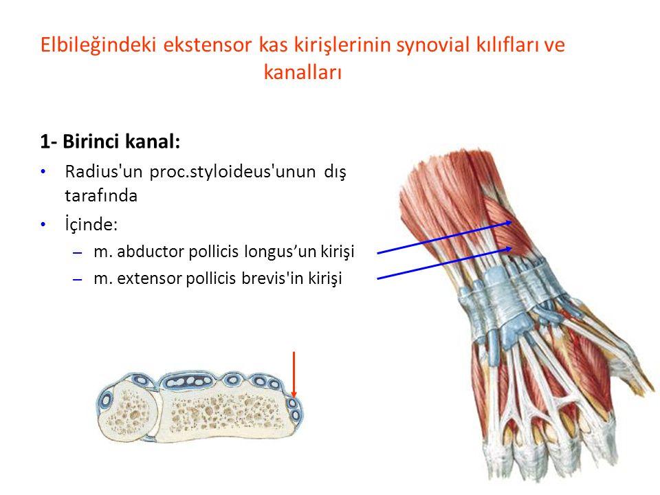 Elbileğindeki ekstensor kas kirişlerinin synovial kılıfları ve kanalları 1- Birinci kanal: Radius un proc.styloideus unun dış tarafında İçinde: – m.