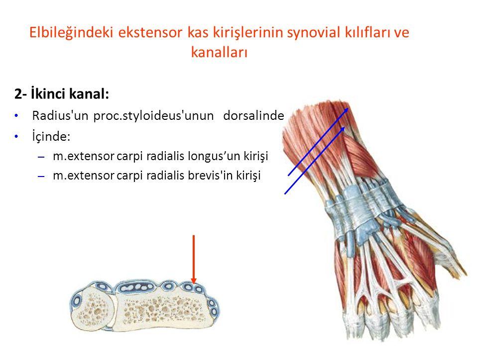 Elbileğindeki ekstensor kas kirişlerinin synovial kılıfları ve kanalları 2- İkinci kanal: Radius un proc.styloideus unun dorsalinde İçinde: – m.extensor carpi radialis longus'un kirişi – m.extensor carpi radialis brevis in kirişi