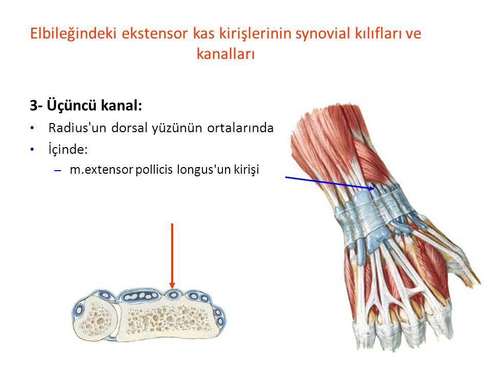 Elbileğindeki ekstensor kas kirişlerinin synovial kılıfları ve kanalları 3- Üçüncü kanal: Radius un dorsal yüzünün ortalarında İçinde: – m.extensor pollicis longus un kirişi