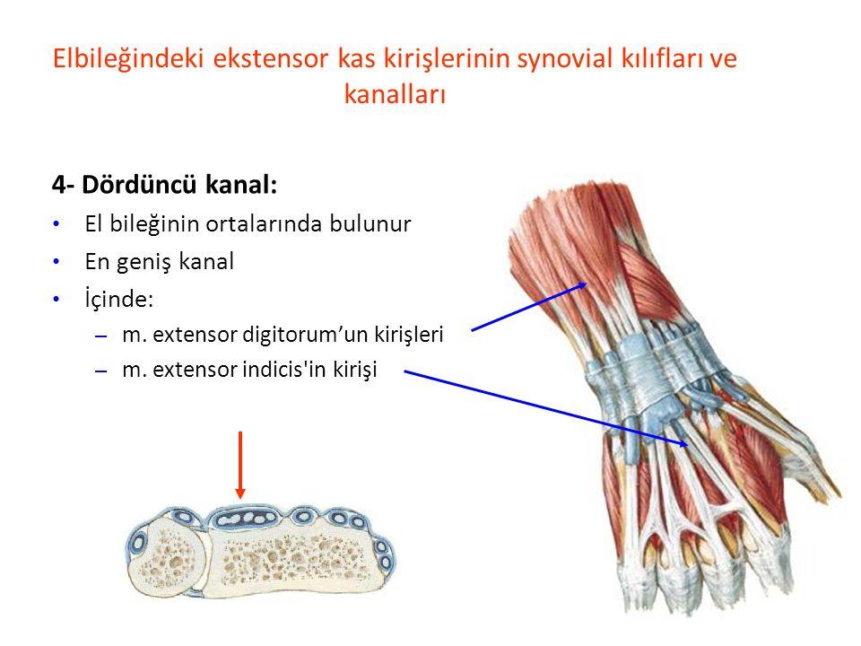 Elbileğindeki ekstensor kas kirişlerinin synovial kılıfları ve kanalları 4- Dördüncü kanal: El bileğinin ortalarında bulunur En geniş kanal İçinde: – m.