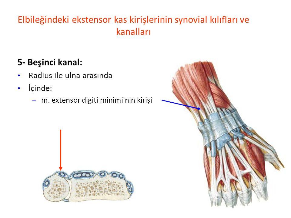Elbileğindeki ekstensor kas kirişlerinin synovial kılıfları ve kanalları 5- Beşinci kanal: Radius ile ulna arasında İçinde: – m.