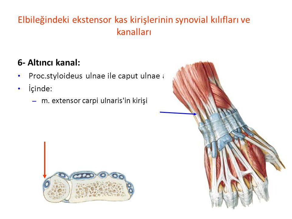 Elbileğindeki ekstensor kas kirişlerinin synovial kılıfları ve kanalları 6- Altıncı kanal: Proc.styloideus ulnae ile caput ulnae arasında İçinde: – m.