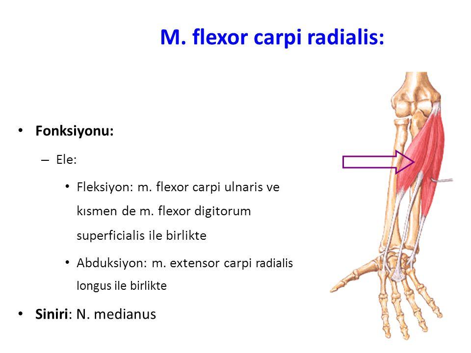 M.flexor carpi radialis: Fonksiyonu: – Ele: Fleksiyon: m.