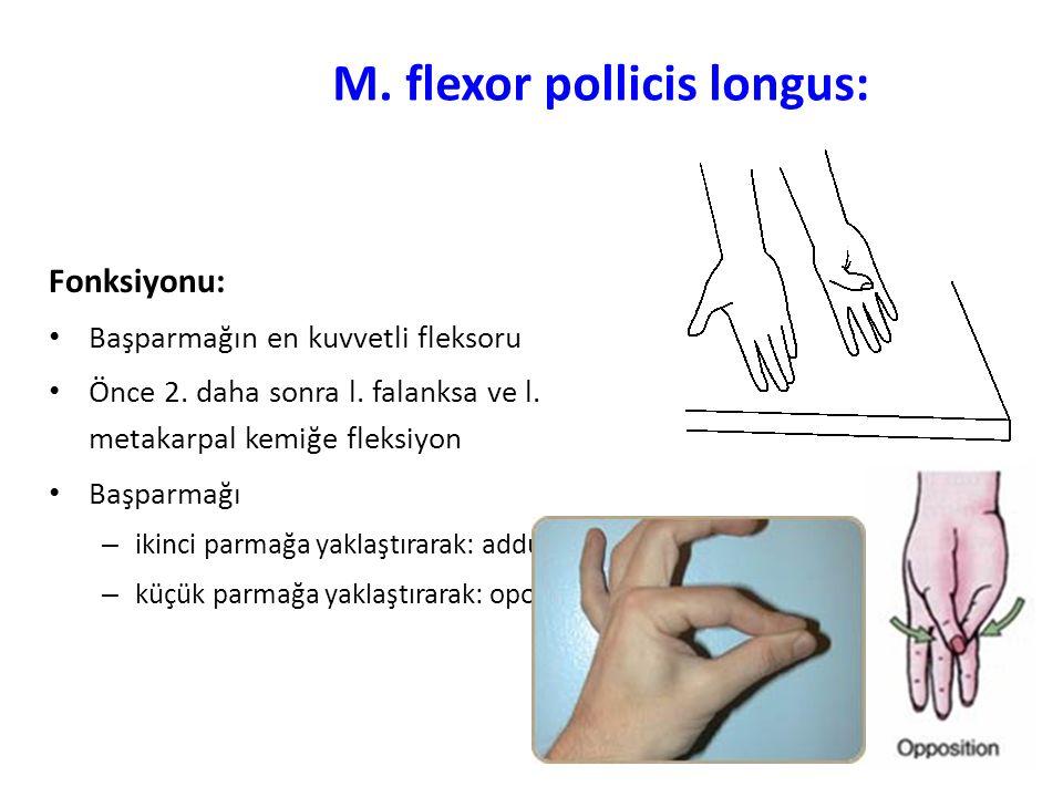 M.flexor pollicis longus: Fonksiyonu: Başparmağın en kuvvetli fleksoru Önce 2.