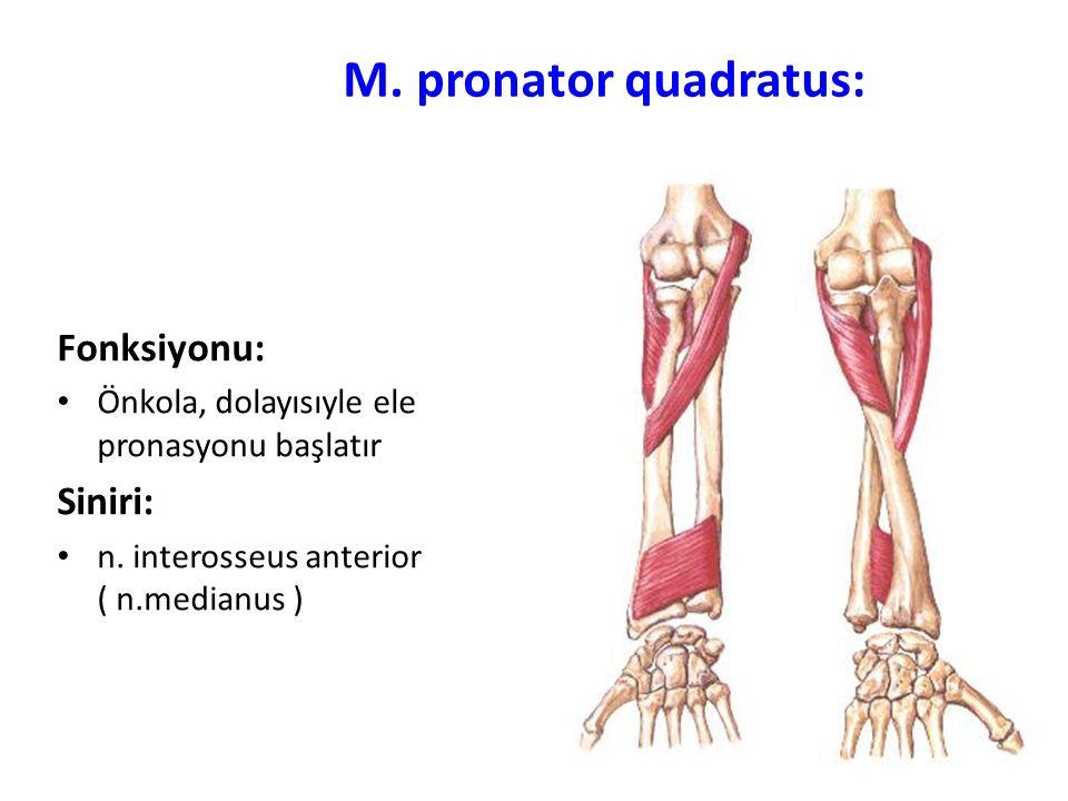 M.pronator quadratus: Fonksiyonu: Önkola, dolayısıyle ele pronasyonu başlatır Siniri: n.