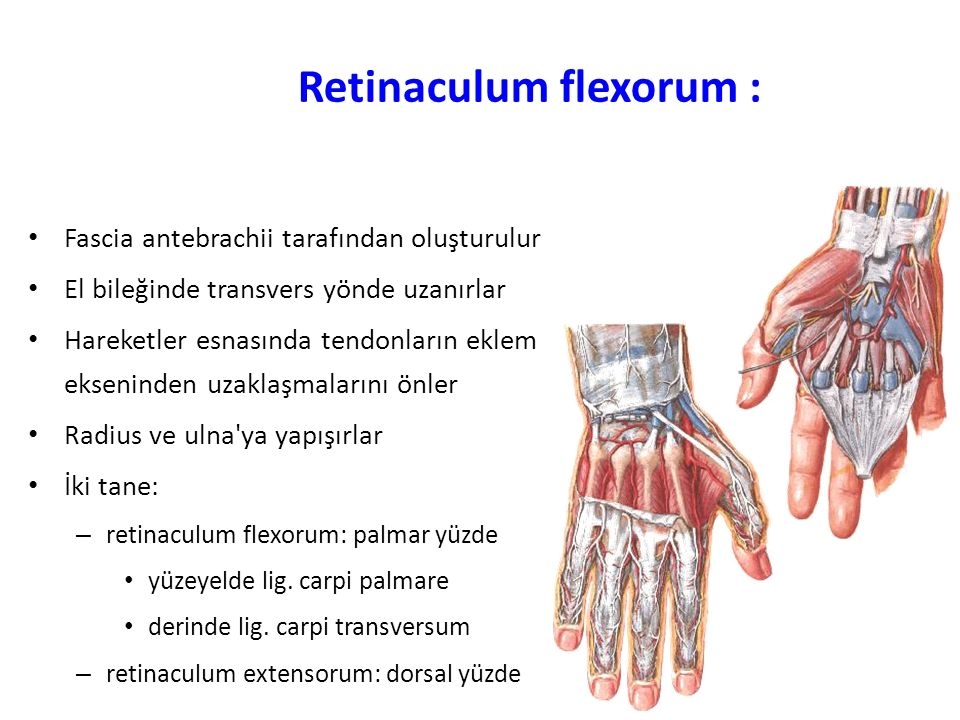 Retinaculum flexorum : Fascia antebrachii tarafından oluşturulur El bileğinde transvers yönde uzanırlar Hareketler esnasında tendonların eklem ekseninden uzaklaşmalarını önler Radius ve ulna ya yapışırlar İki tane: – retinaculum flexorum: palmar yüzde yüzeyelde lig.