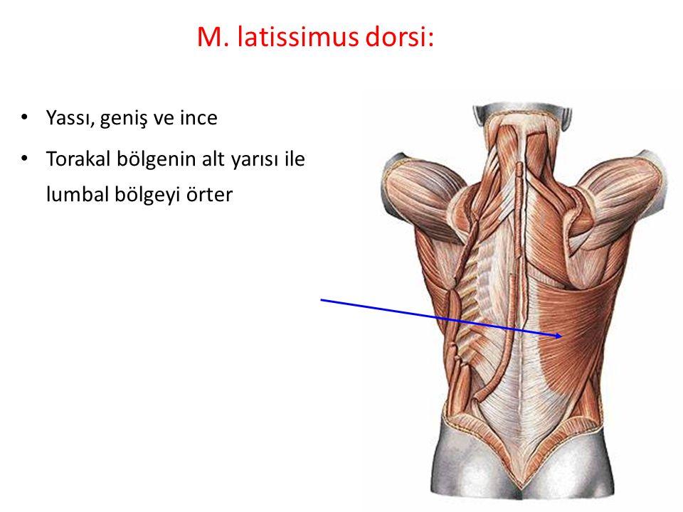 M. latissimus dorsi: Yassı, geniş ve ince Torakal bölgenin alt yarısı ile lumbal bölgeyi örter