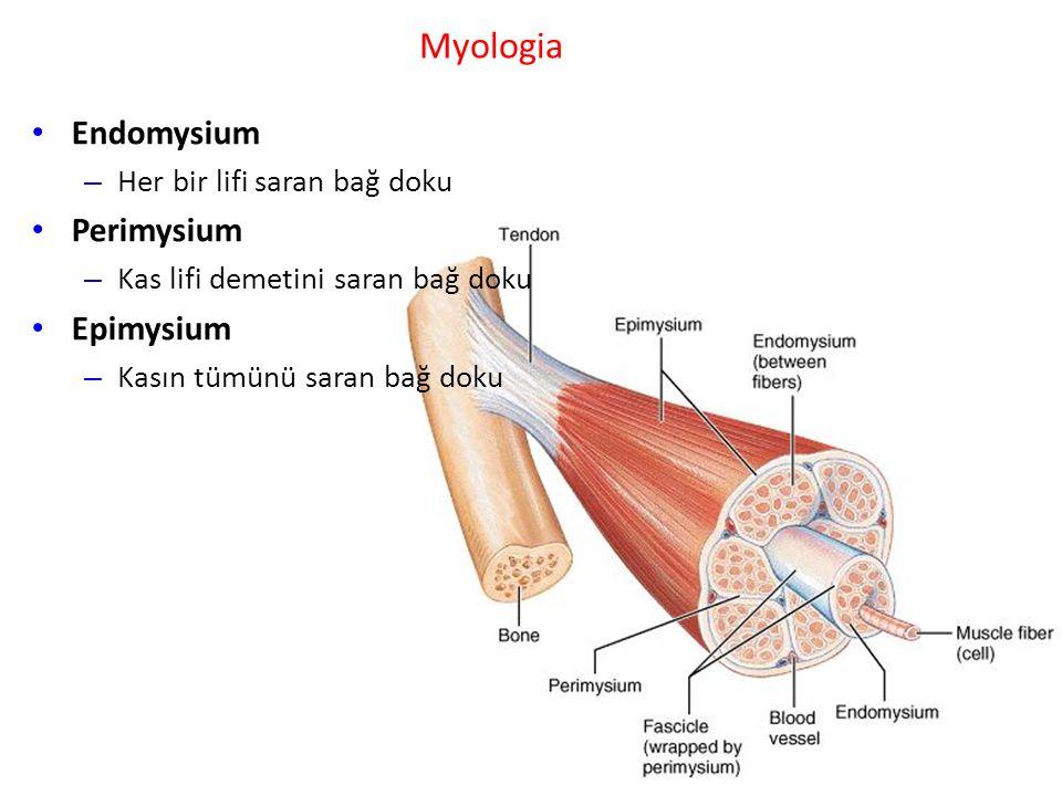 Myologia Endomysium – Her bir lifi saran bağ doku Perimysium – Kas lifi demetini saran bağ doku Epimysium – Kasın tümünü saran bağ doku
