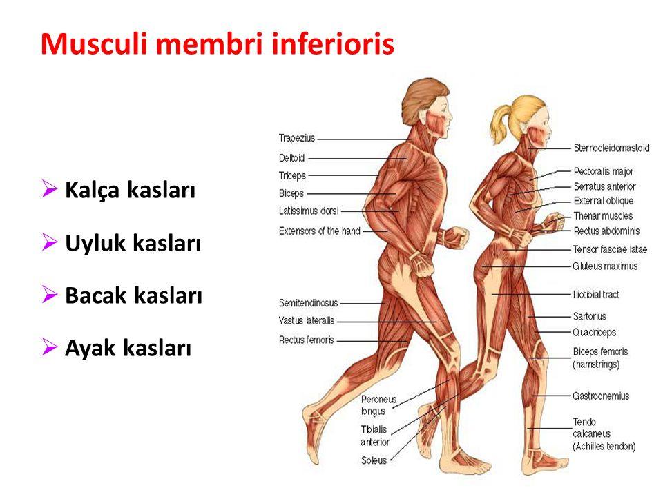 85 Musculi membri inferioris  Kalça kasları  Uyluk kasları  Bacak kasları  Ayak kasları