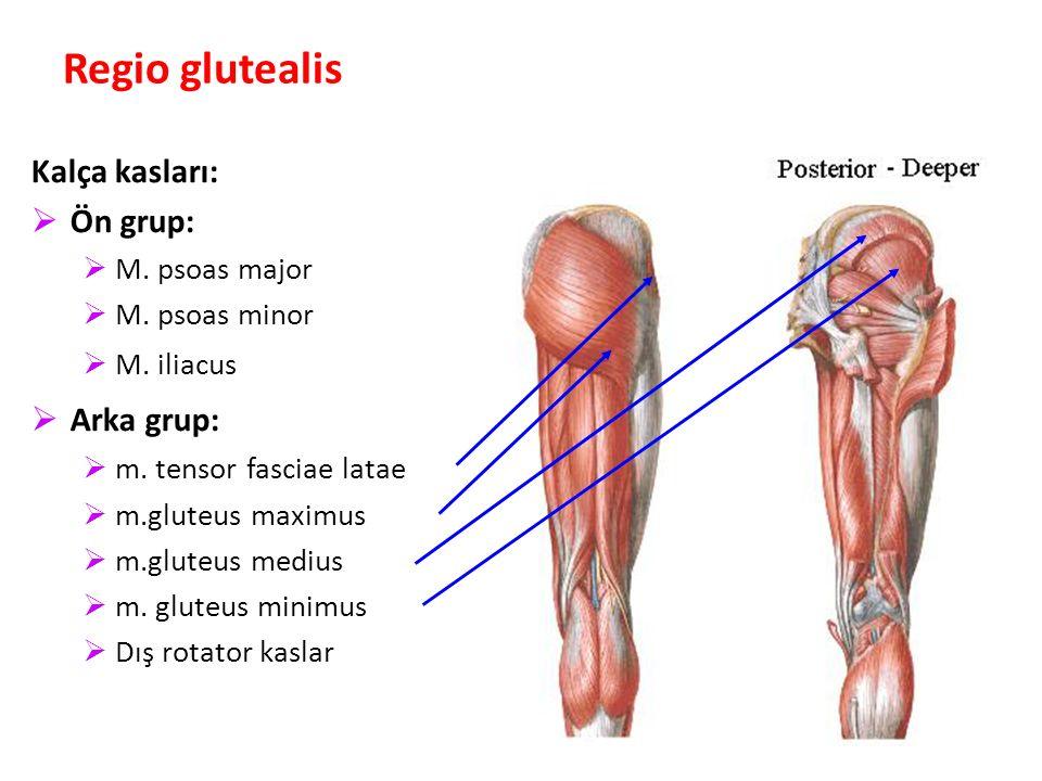 86 Regio glutealis Kalça kasları:  Ön grup:  M.psoas major  M.