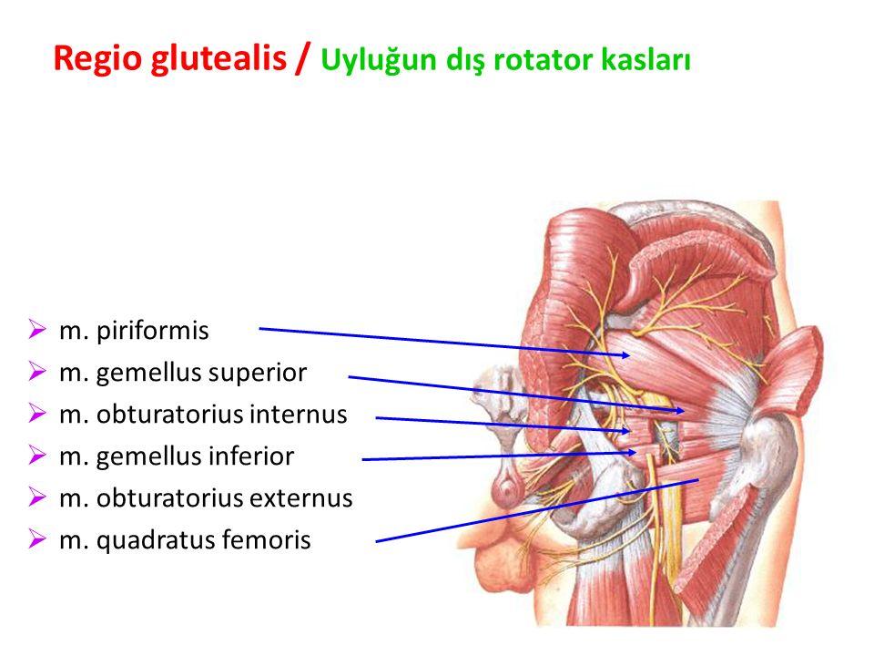 97 Regio glutealis / Uyluğun dış rotator kasları  m.