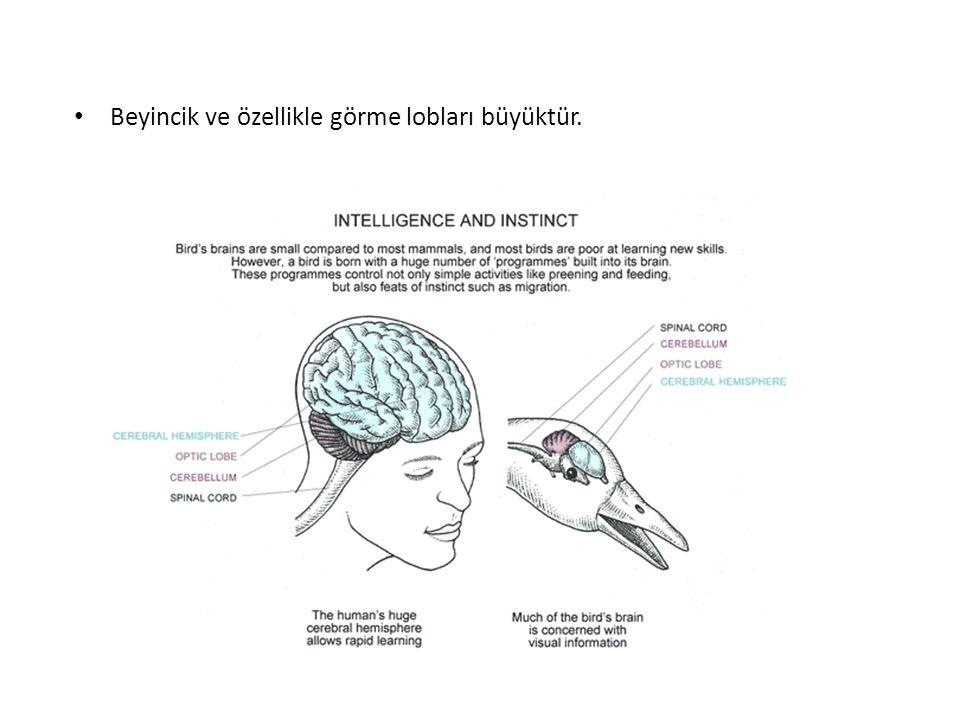 Beyincik ve özellikle görme lobları büyüktür.