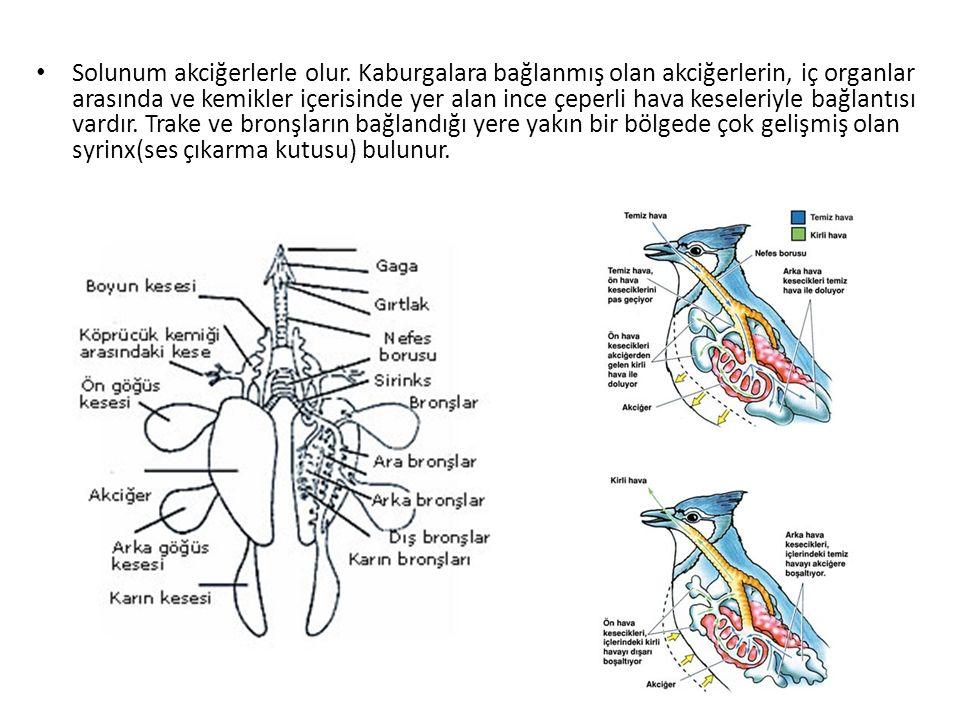 Solunum akciğerlerle olur. Kaburgalara bağlanmış olan akciğerlerin, iç organlar arasında ve kemikler içerisinde yer alan ince çeperli hava keseleriyle