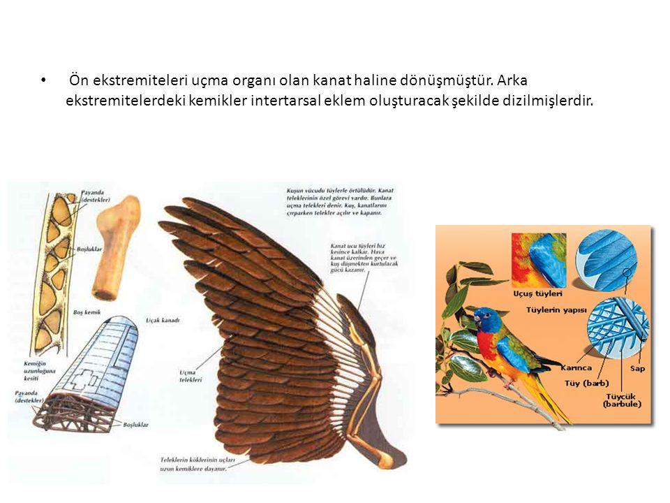 Ön ekstremiteleri uçma organı olan kanat haline dönüşmüştür. Arka ekstremitelerdeki kemikler intertarsal eklem oluşturacak şekilde dizilmişlerdir.