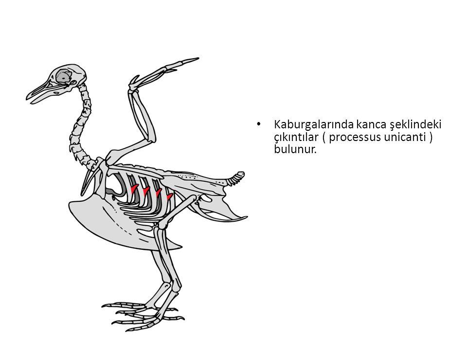 Deve kuşları hariç idrar keseleri yoktur, böbreklerden atılan boşaltım atıkları katı ürik asit tarzındadır.