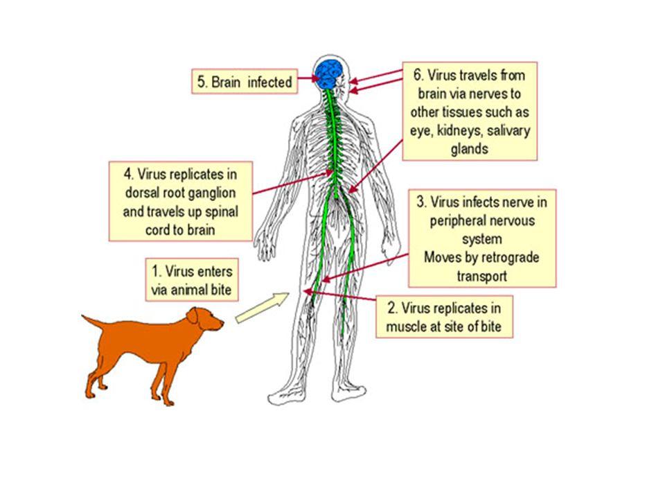 Virüs ısırılan noktada yerel olarak çoğalır ve duyu nöronlarında aksonal taşınmayla MSS'ye ulaşır.