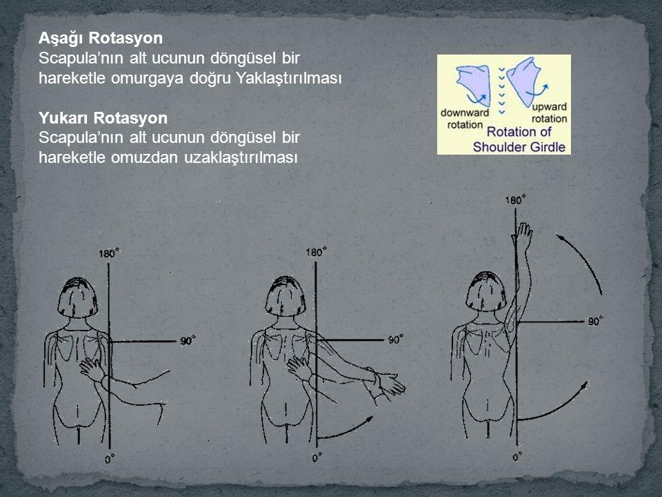 Aşağı Rotasyon Scapula'nın alt ucunun döngüsel bir hareketle omurgaya doğru Yaklaştırılması Yukarı Rotasyon Scapula'nın alt ucunun döngüsel bir hareketle omuzdan uzaklaştırılması
