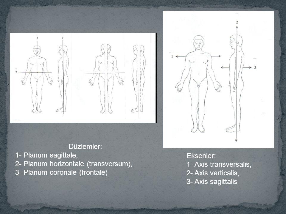Düzlemler: 1- Planum sagittale, 2- Planum horizontale (transversum), 3- Planum coronale (frontale) Eksenler: 1- Axis transversalis, 2- Axis verticalis, 3- Axis sagittalis
