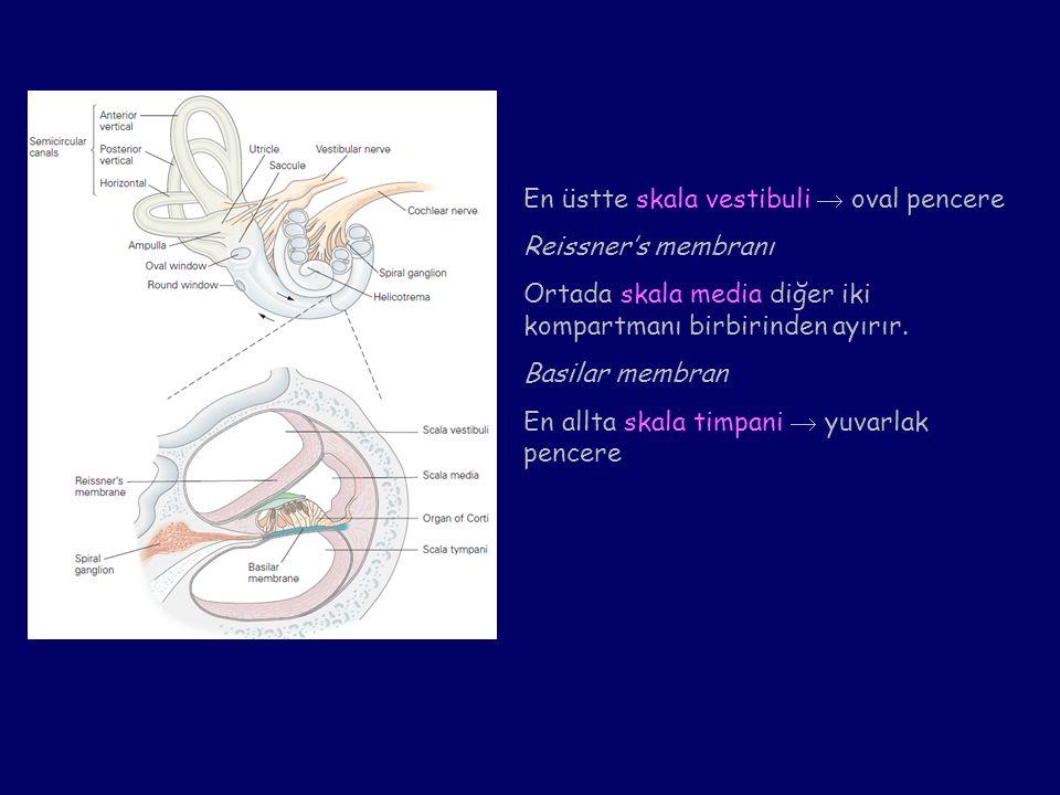 Transdüksiyona katılan iyon kanalları elastik yapılar (tip link) ile kapalıdır.