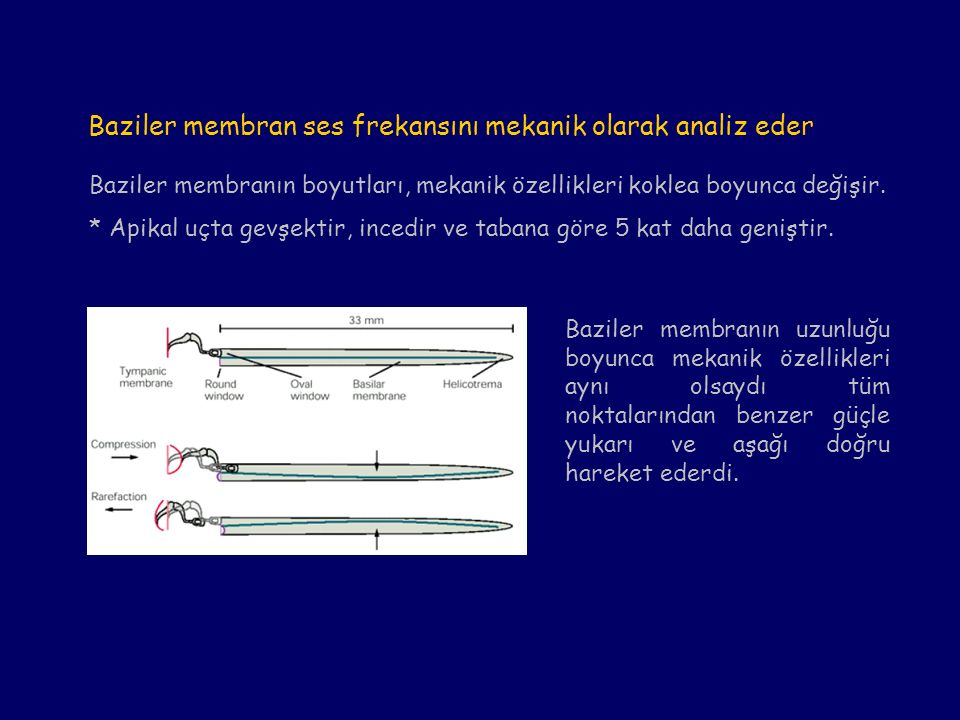 Baziler membranın boyutları, mekanik özellikleri koklea boyunca değişir. * Apikal uçta gevşektir, incedir ve tabana göre 5 kat daha geniştir. Baziler