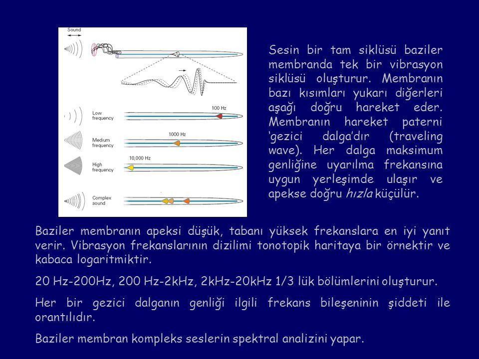 Sesin bir tam siklüsü baziler membranda tek bir vibrasyon siklüsü oluşturur. Membranın bazı kısımları yukarı diğerleri aşağı doğru hareket eder. Membr