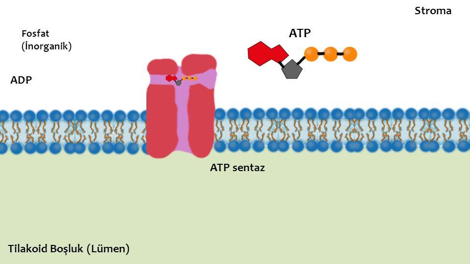 ATP sentaz ADP Fosfat (İnorganik) ATP Stroma Tilakoid Boşluk (Lümen)