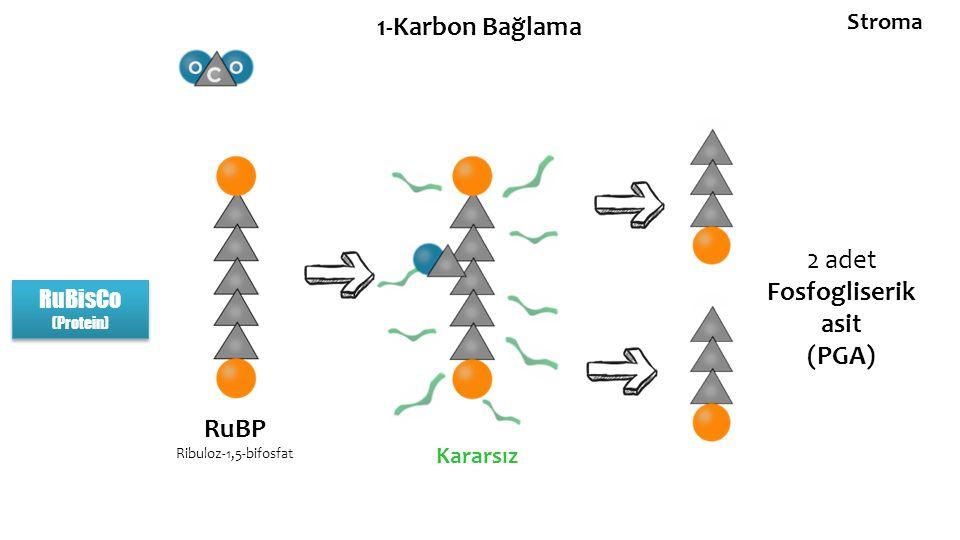 1-Karbon Bağlama RuBisCo (Protein) RuBisCo (Protein) RuBP Ribuloz-1,5-bifosfat Kararsız 2 adet Fosfogliserik asit (PGA) Stroma