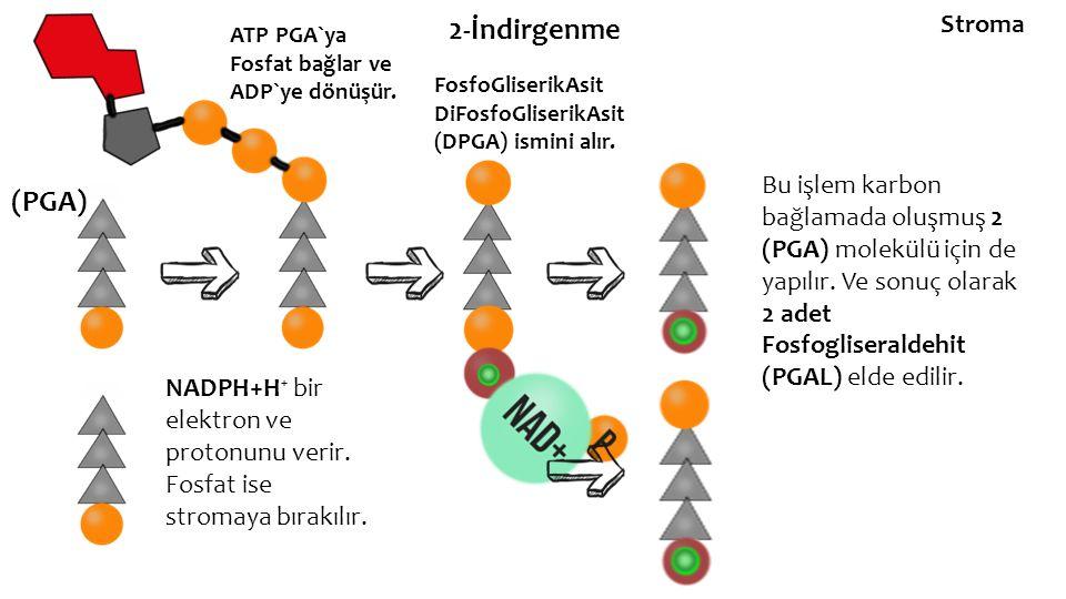2-İndirgenme (PGA) ATP PGA`ya Fosfat bağlar ve ADP`ye dönüşür. FosfoGliserikAsit DiFosfoGliserikAsit (DPGA) ismini alır. NADPH+H⁺ bir elektron ve prot