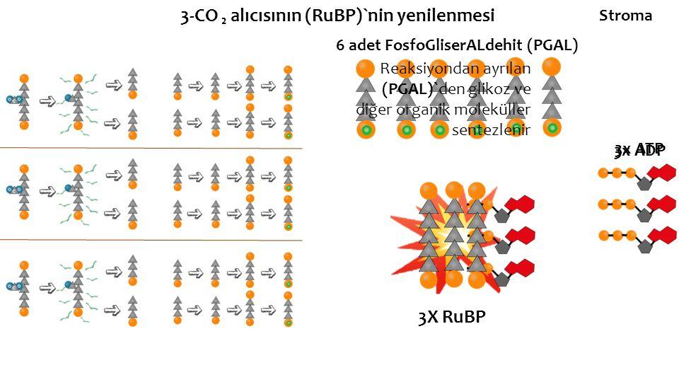 3-CO ₂ alıcısının (RuBP)`nin yenilenmesi 6 adet FosfoGliserALdehit (PGAL) 3x ATP 3x ADP 3X RuBP Reaksiyondan ayrılan (PGAL)`den glikoz ve diğer organi