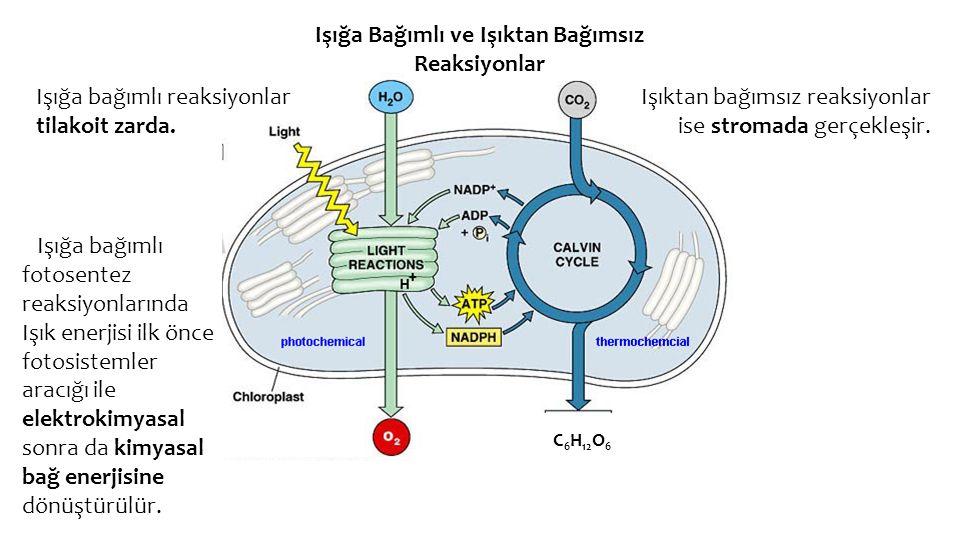 Işığa Bağımlı ve Işıktan Bağımsız Reaksiyonlar Işığa bağımlı reaksiyonlar tilakoit zarda. Işıktan bağımsız reaksiyonlar ise stromada gerçekleşir. Işığ