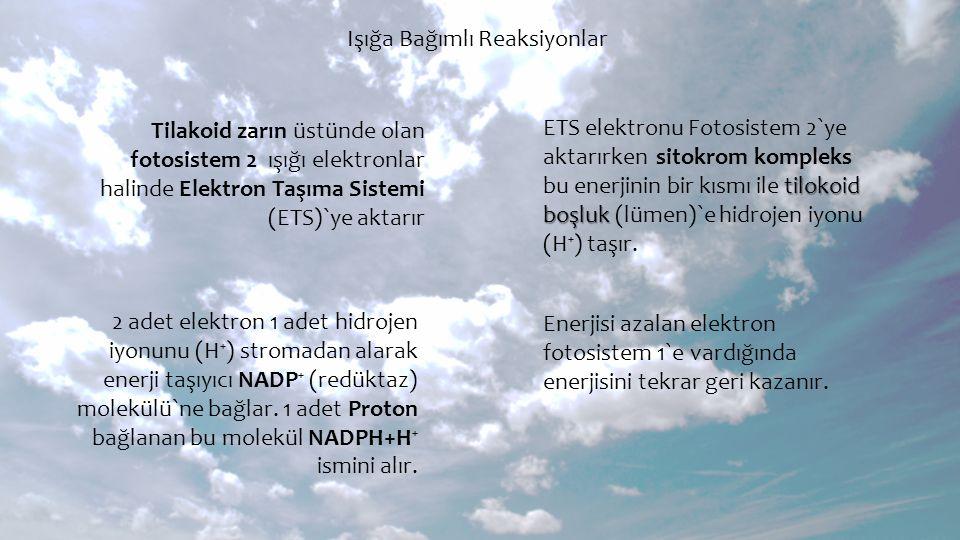 Işığa Bağımlı Reaksiyonlar Tilakoid zarın üstünde olan fotosistem 2 ışığı elektronlar halinde Elektron Taşıma Sistemi (ETS)`ye aktarır ETS elektronu F