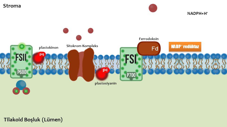Fd NADP ⁺ redüktaz plastokinon Sitokrom Kompleks plastosiyanin Ferrodoksin NADPH+H⁺ Stroma Tilakoid Boşluk (Lümen)
