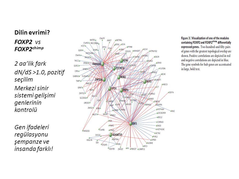 Dilin evrimi? FOXP2 vs FOXP2 chimp 2 aa'lik fark dN/dS >1.0, pozitif seçilim Merkezi sinir sistemi gelişimi genlerinin kontrolü Gen ifadeleri regülasy
