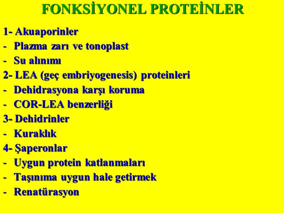 FONKSİYONEL PROTEİNLER 1- Akuaporinler -Plazma zarı ve tonoplast -Su alınımı 2- LEA (geç embriyogenesis) proteinleri -Dehidrasyona karşı koruma -COR-LEA benzerliği 3- Dehidrinler -Kuraklık 4- Şaperonlar -Uygun protein katlanmaları -Taşınıma uygun hale getirmek -Renatürasyon