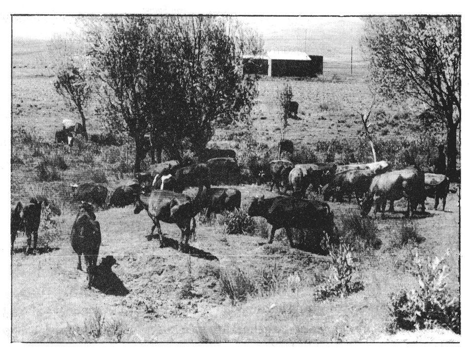Büyük baş hayvancılık hayvancılık faaliyetleri özellikle da ğ lık bir araziye sahip kırsal kesimlerde ön plana geçerek, birinci derecede etkili ekonomik hayvancılık faaliyetleri özellikle da ğ lık bir araziye sahip kırsal kesimlerde ön plana geçerek, birinci derecede etkili ekonomik