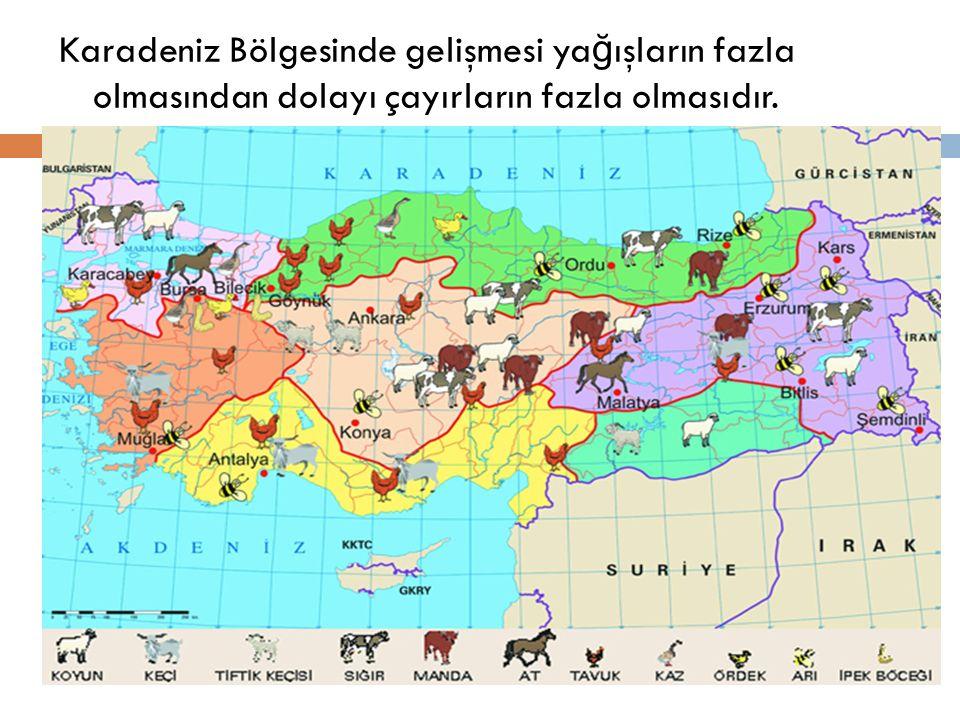Karadeniz Bölgesinde gelişmesi ya ğ ışların fazla olmasından dolayı çayırların fazla olmasıdır.