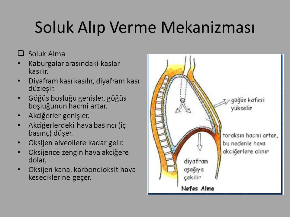 Soluk Alıp Verme Mekanizması  Soluk Alma Kaburgalar arasındaki kaslar kasılır. Diyafram kası kasılır, diyafram kası düzleşir. Göğüs boşluğu genişler,