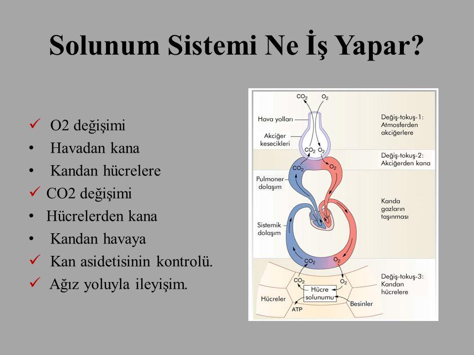Solunum Sistemi Ne İş Yapar? O2 değişimi Havadan kana Kandan hücrelere CO2 değişimi Hücrelerden kana Kandan havaya Kan asidetisinin kontrolü. Ağız yol