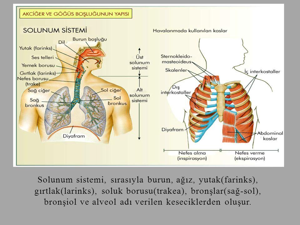 Solunum sistemi, sırasıyla burun, ağız, yutak(farinks), gırtlak(larinks), soluk borusu(trakea), bronşlar(sağ-sol), bronşiol ve alveol adı verilen kese