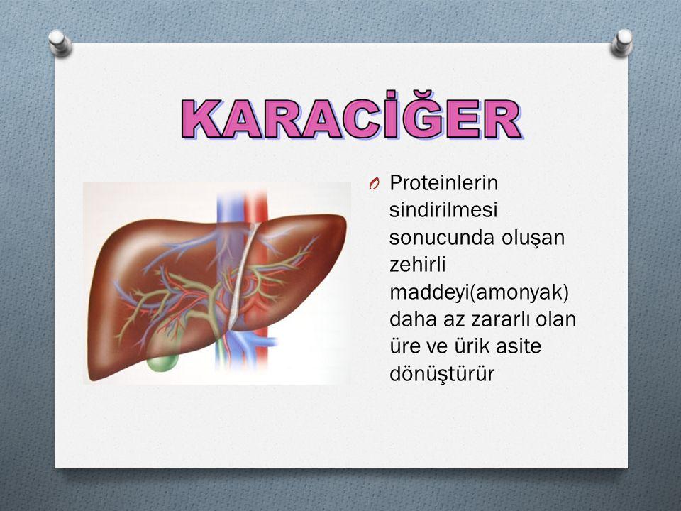 O Proteinlerin sindirilmesi sonucunda oluşan zehirli maddeyi(amonyak) daha az zararlı olan üre ve ürik asite dönüştürür