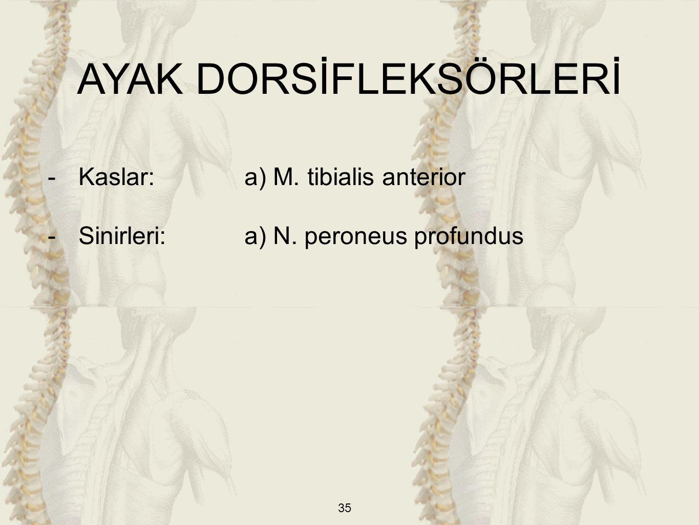 35 AYAK DORSİFLEKSÖRLERİ -Kaslar: a) M. tibialis anterior -Sinirleri:a) N. peroneus profundus